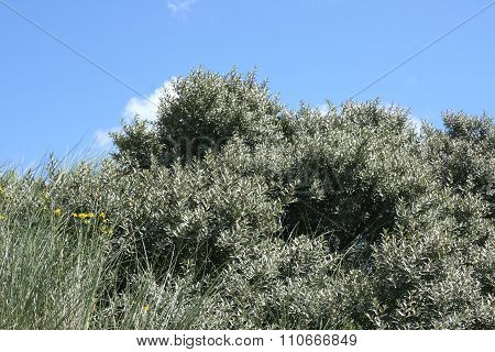 Grey Bush