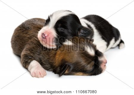 Close Up Of Two Sleeping 1 Week Old Havanese Puppies
