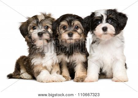 Three Cute Havanese Puppies Are Sitting Next To Each Other