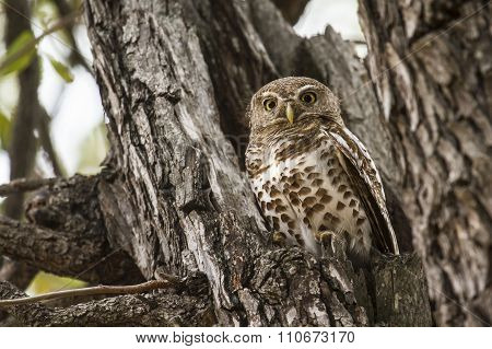 African Barred Owlet In Kruger National Park
