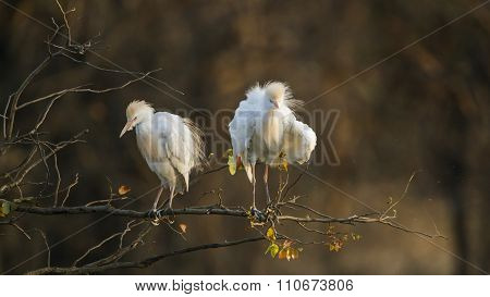 Cattle Egret In Kruger National Park