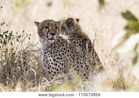 Specie Acinonyx jubatus family of Felidae, two Cheetahs hidden in the bush  In Kruger National Park
