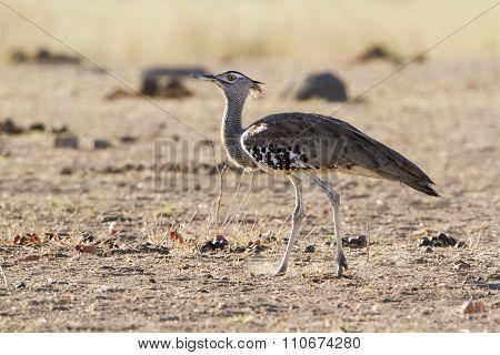 Kori Bustard In Kruger National Park