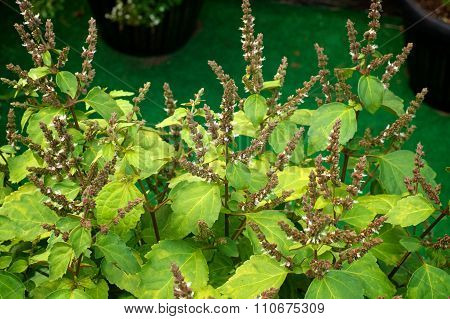 Flowers Of Patchouli Plant