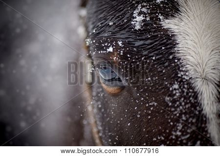 An Eye Of A Wet Brown Horse In Snow
