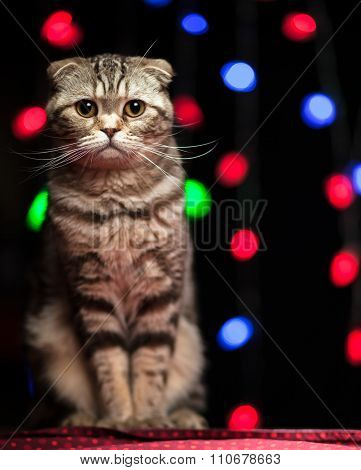 Scottish Fold Cat Sits On A Table In Christmas And New Year