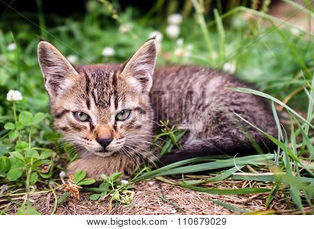 Kitten Sitting In The Grass.