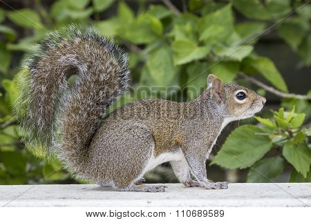 Eastern Gray Squirrel On A Deck Railing
