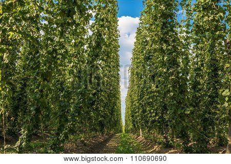 Hops Plantation In Bavaria, Germany
