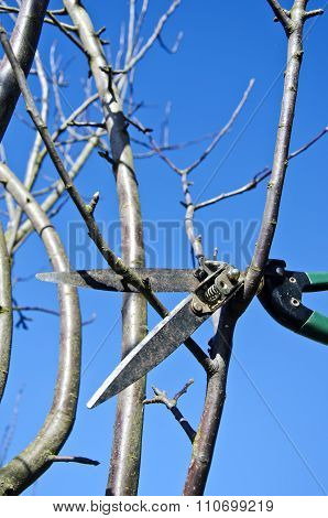 Pruning Shears Hanged In Apple Tree In Spring