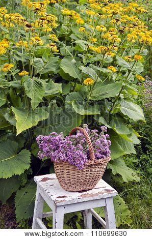 Freshly Picked Oregano In A Wicker Basket In The Garden