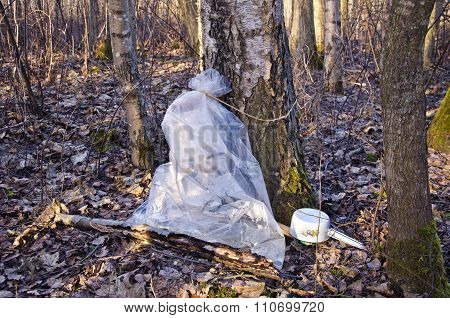 Birch Tree Sap Collection In A Plastic Bag
