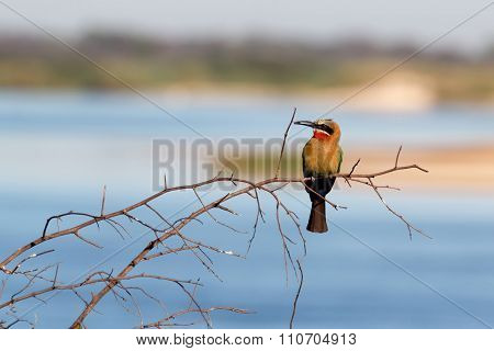 White Fronted Bee-eater On Tree