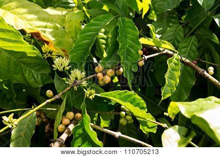 Raw Coffe Plant In Agricultural Farm