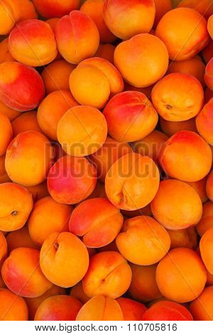 Closeup of freshly harvested ripen Apricots in Europe