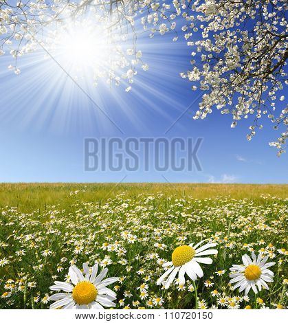 Field of marguerites with blooming tree in sunny day. Spring season.