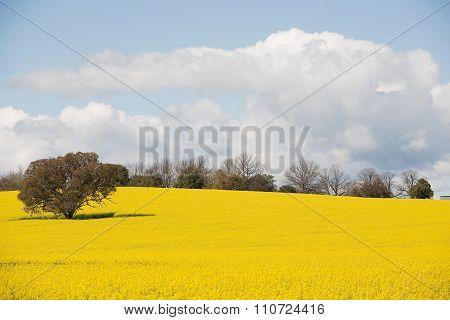Canola Crop In Paddock