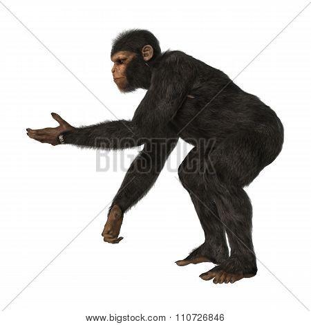 Chimpanzee Monkey On White