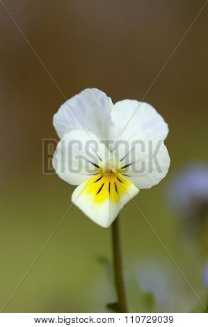 Wld Pansy