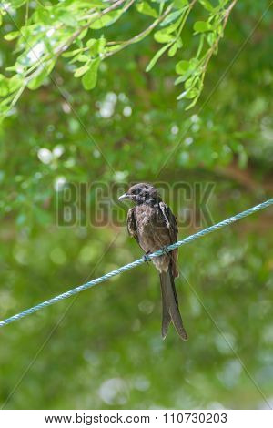 Black Drongo Bird On A Rope