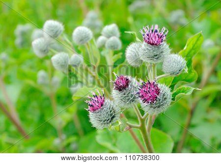 Flowering Great Burdock (arctium Lappa), Selective Focus