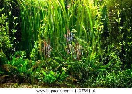 Undewater Green Alga, Aquatic Plants And Fishes. Tropical Underwater
