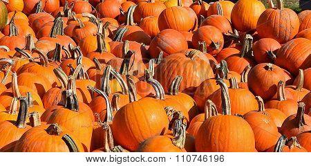 A Close Up of The Pumpkin Harvest