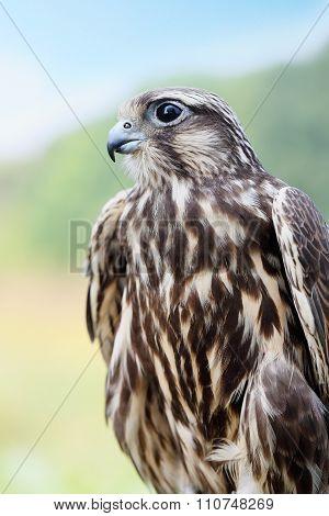 Peregrine Falcon closeup