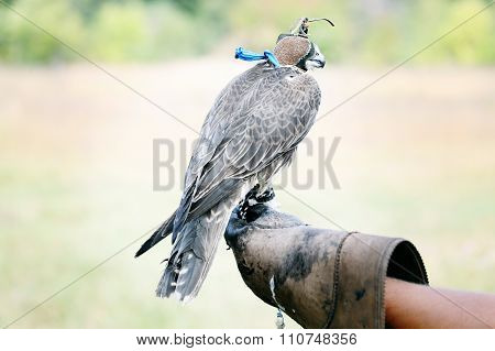 Falcon sitting on leather glove