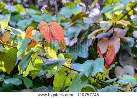 Golden Leaved Liana Use For Thai Herbs.