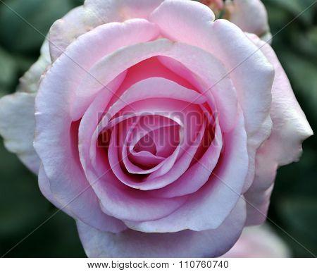 Pin Rose Closeup
