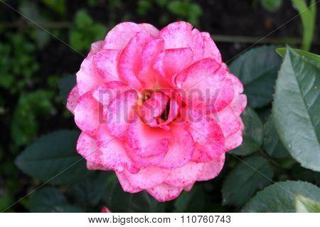 Pink Rose Buds Tiger