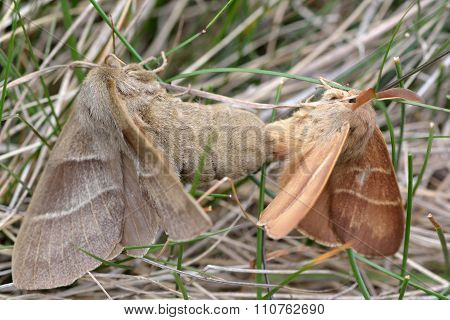 Fox moth (Macrothylacia rubi) in cop