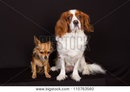 Cavalier King Charles Spaniel And Chihuahua Under Black Background