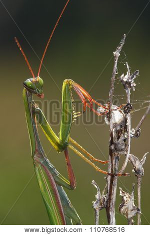 Green Praying  Mantis With Red Leg And  Antenna On The Plant