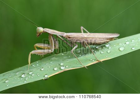 Brown Prayingmantis Sitting On The Wet Green  Plant