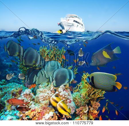 Tropical Anthias fish with net fire corals on Red Sea reef underwater