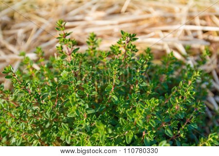 Organic agriculture of thyme - Shallow DOF