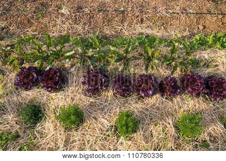 Organic agriculture of lettuce, rosemary and beetroot with crop rotation