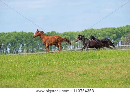 Group of young stallions gallops on to the meadow