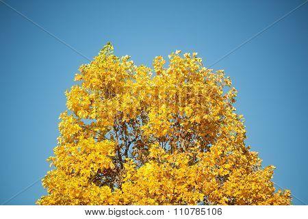 Tops Of Golden-leaved Maple Trees
