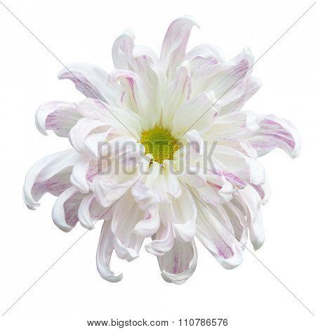 Beautiful white autumn irregular chrysanthemum,meaning big chrysanthemum, isolated on white background