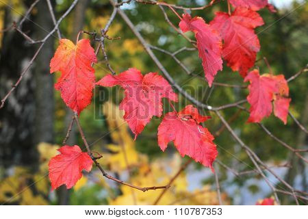 Autumn  - red leaves on amur maple