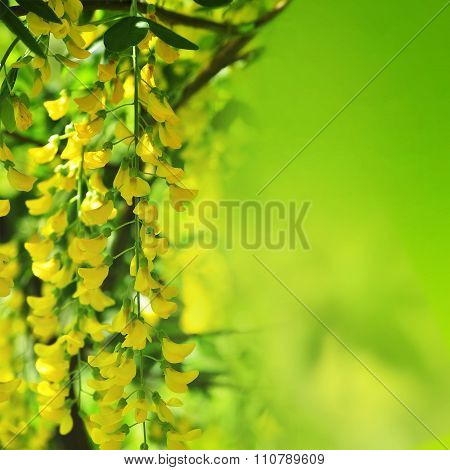 Yellow acacia flowers