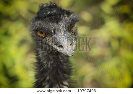 Portrait of Emu ostrich