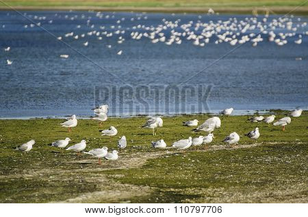 Sea gulls at coast