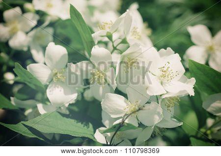 Jasmine flower image