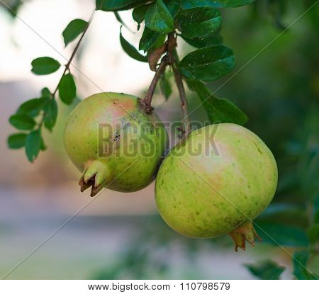 Bunch Of Unripe Pomegranate On The Tree.