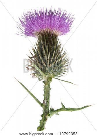 Thistle flower on white background