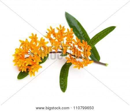 Butterfly Milkweed on a White Background